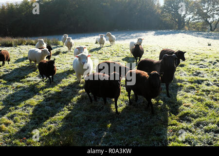 Black and white sheep together in a frosty field in autumn Carmarthenshire Wales UK  KATHY DEWITT - Stock Image