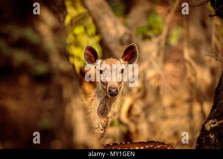 indian sambar deer - Stock Image