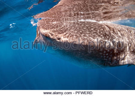 whale shark - Rhincodon typus - Stock Image