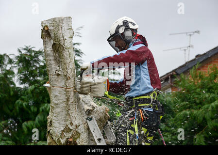 A tree surgeon fells a silver birch tree in a garden - Stock Image