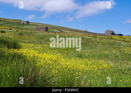 Summer country scene with field of Meadow Buttercups and old barns in countryside. Upper Swaledale Yorkshire Dales National Park Yorkshire England UK - Stock Image