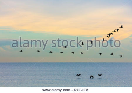 Flock of Canada Geese Branta canadensis flying in formation over Lake Ontario at Lynde Shores Conservation Area in Whitby Ontario Canada - Stock Image