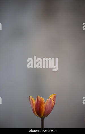 Red and Orange Tulip against Gray Background - Stock Image
