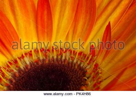 Sharp View of Beatiful Gerbera Flower. - Stock Image