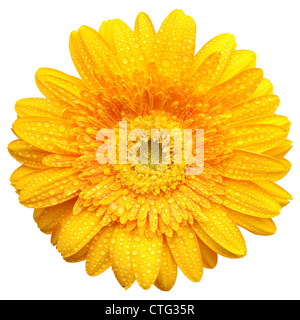 Yellow gerbera blossom with water drops isolated on white background - Stock Image