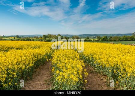 A field of flowering Oil Seed Rape crop with tramlines under a blue sky - Stock Image