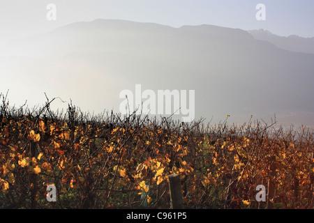 Vineyards in autumn, Trentino region, Italy - Stock Image