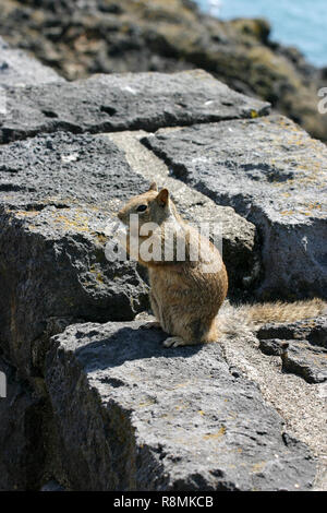 A common California ground squirrel sitting on some rocks to eat by the sea - Stock Image