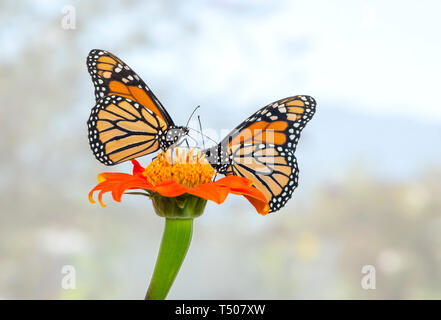 A pair of Monarch butterflies feeding on the same tithonia flower - side view on a soft sky blue background - Stock Image