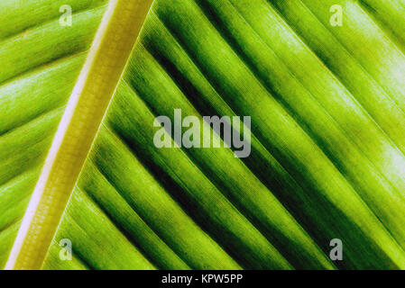Macro closeup of the veins and rib of a palm tree in natural sunlight - Stock Image