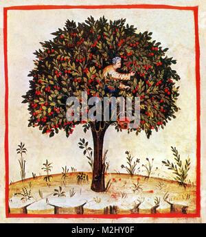'Tacuinum Sanitatis', Sour Cherries - Stock Image