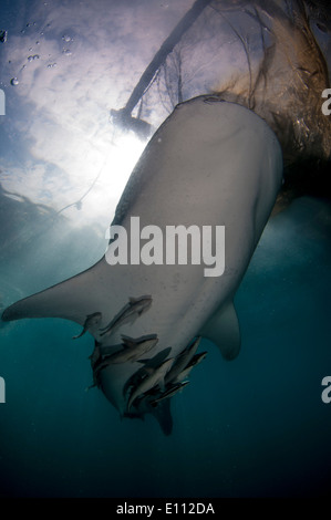 Whale shark below the nets of the bagan (fishing boat with platform and nets), Cenderawasih Bay, New Guinea (Rhincodon typus) - Stock Image