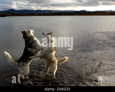 Iceland, Hafravatn, Husky dogs playing beside water - Stock Image