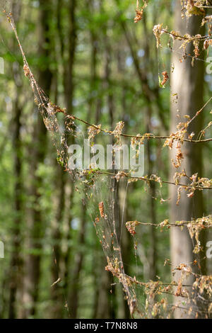 Damage, defoliation and deforestation caused by high numbers of winter moth (Operophtera brumata) caterpillars - Stock Image