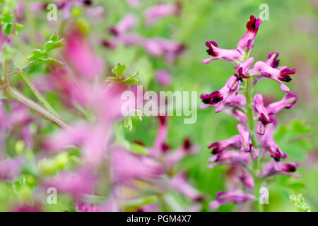 Common Fumitory (fumaria officinalis), close up of a single flower stem out of many. - Stock Image