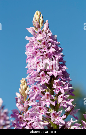 Selective focus image of a blooming pink Common Spotted-orchid (Dactylorhiza fuchsii) with blue sky. - Stock Image