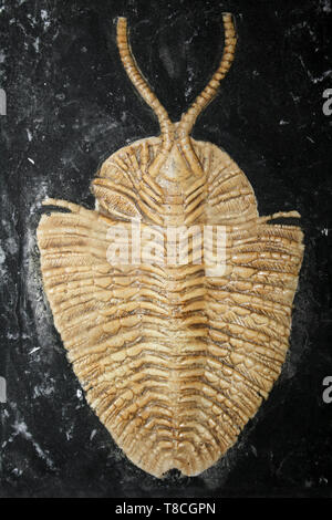 Fossil Cast Of Triarthrus beckii - an Upper Ordovician ptychopariid trilobite from New York State & Kentucky - Stock Image