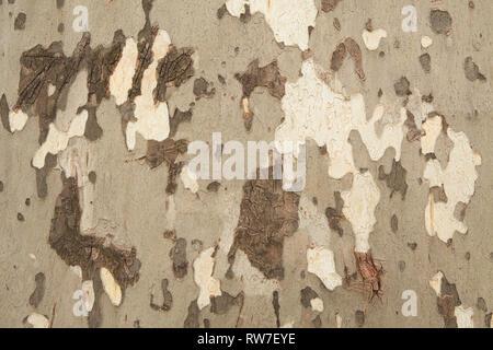 Sycamore Tree Bark - Stock Image