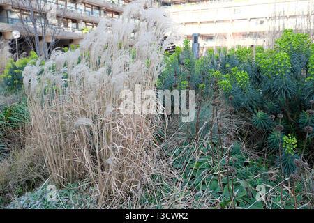 Ornamental grasses & euphorbias in bloom in warm winter in Beech Gardens Barbican Estate flats City of London UK  February 2019    KATHY DEWITT - Stock Image