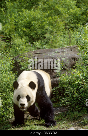 Giant panda walking like bear, Wolong, China, June - Stock Image