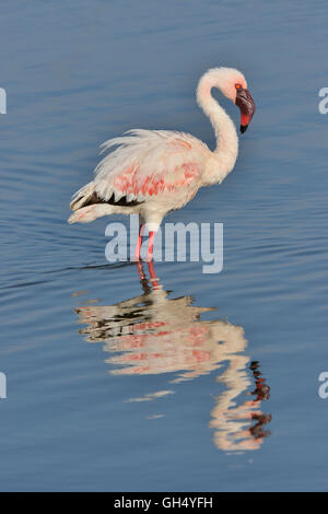 zoology / animals, birds (Aves), Lesser Flamingo (Phoenicopterus Minor) on Lake Nakuru, Nakuru National Park, Kenya, - Stock Image