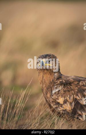 Steppe eagle, Aquila nipalensis,amid dry grasslands ,late autumn - Stock Image