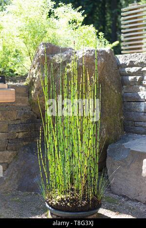 Equisetum hyemale - scouring rush horsetail - at Portland Japanese Garden in Portland, Oregon, USA. - Stock Image