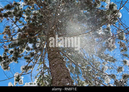Snow settled on a pine tree branches is melting, and it is disturbed into a cloud of fine particles. - Stock Image