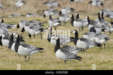 Flock of barnacle geese (Branta leucopsis) grazing in pasture. Dumfries & Galloway, Scotland. February. - Stock Image