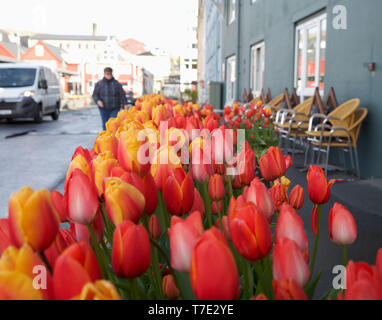 Torshavn,Faroe Islands,7th May 2019,Blue skies over Torshavn in the Faroe Islands, despite snowfall early this morning due to an Arctic Blast. Tulips in bloom outside a coffee shop.Credit: Keith Larby/Alamy Live News - Stock Image