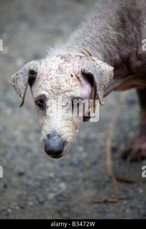 A stray dog with a serious skin disease in Mansalay, Oriental Mindoro, Philippines. - Stock Image