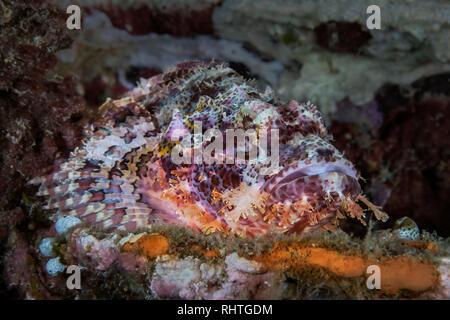 Bearded Scorpionfish (Scorpaenopsis barbata), colorful, yet camouflaged among coral reef elements. Puerto Galera, Philippines - Stock Image