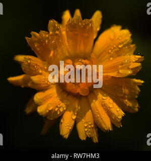 Orange Flower with Water Droplets against Black Background - Stock Image