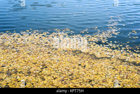 Golden birch leaves floating in calm pond water with copy space area for nature backgrounds - Stock Image