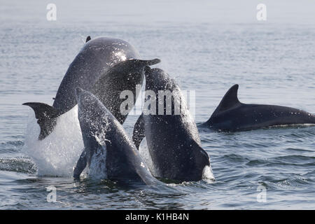 Bottlenose dolphins perform a spectacular triple breach in the Moray Firth - Stock Image