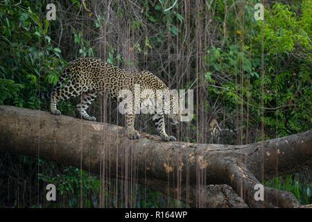 A Jaguar walks over a fallen tree in North Pantanal, Brazil - Stock Image