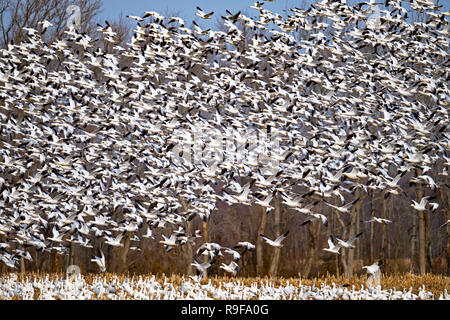 Massive Flock of Snow Goose Lift Off - Stock Image