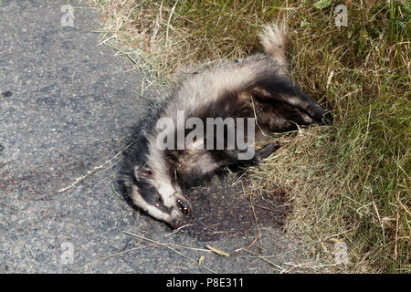 Dead badger by the roadside, Llanllyfni, Gwynedd - Stock Image