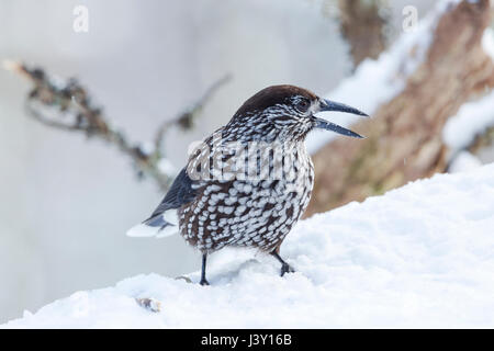 The spotted nutcracker, Eurasian nutcracker, just called nutcracker, Latin name Nucifraga caryocatactes, froaging - Stock Image