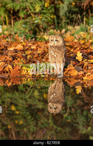 Tawny owl, Strix aluco, amid autumnal colour,reflected in puddle - Stock Image
