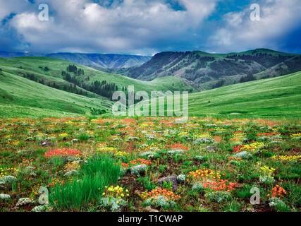 Wild Buckwheat (Sp Eriogonum) flowers. Zumwalt Prairie Nature Conservatory. Oregon - Stock Image