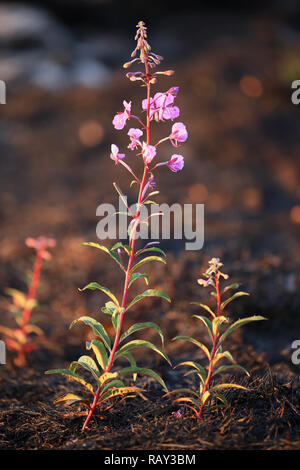 Rosebay willowherb (Chamerion angustifolium) blooming not long after a wildfire cleared the area of vegetation. - Stock Image