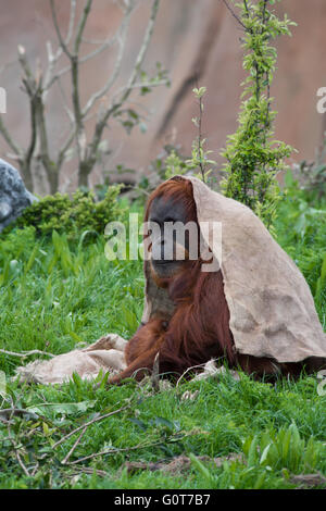 Orangutan with a sack on her head - Stock Image