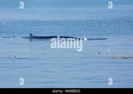 Eden's Whale (Balaenoptera edeni), swimming among trash - Stock Image