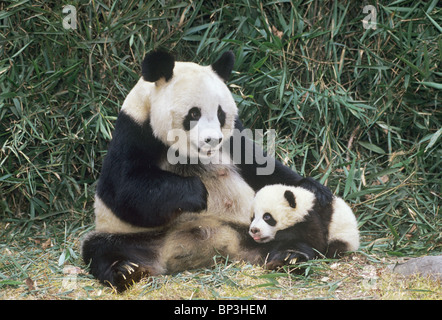 Giant panda mother with 5-month-old baby, Wolong China - Stock Image