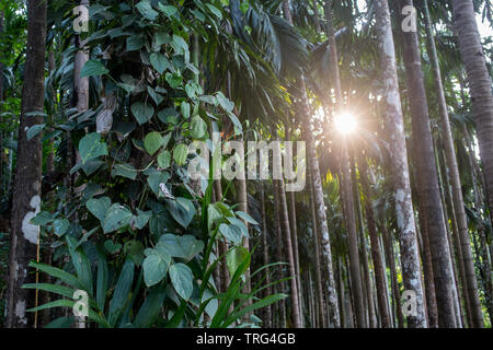 Jungle view of palm trees in front of a sunset - Stock Image