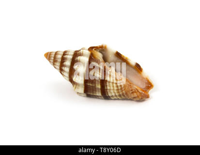 Sea shell closeup isolated on white background - Stock Image