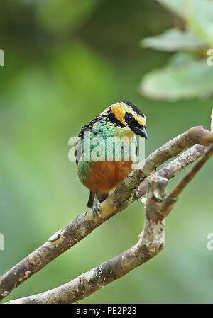 Golden-eared Tanager (Tangara chrysotis) adult perched on branch  Copalinga Lodge, Zamora-chinchipe, Ecuador           February - Stock Image
