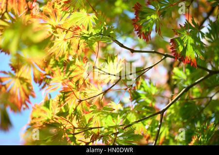 Full Moon Maple, sunny autumn day blue sky, autumn leaves changing colour   Jane Ann Butler Photography JABP1833 - Stock Image