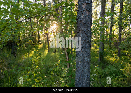 Sun shining off lake through forest trees, Dore Lake, Saskatchewan, Canada - Stock Image